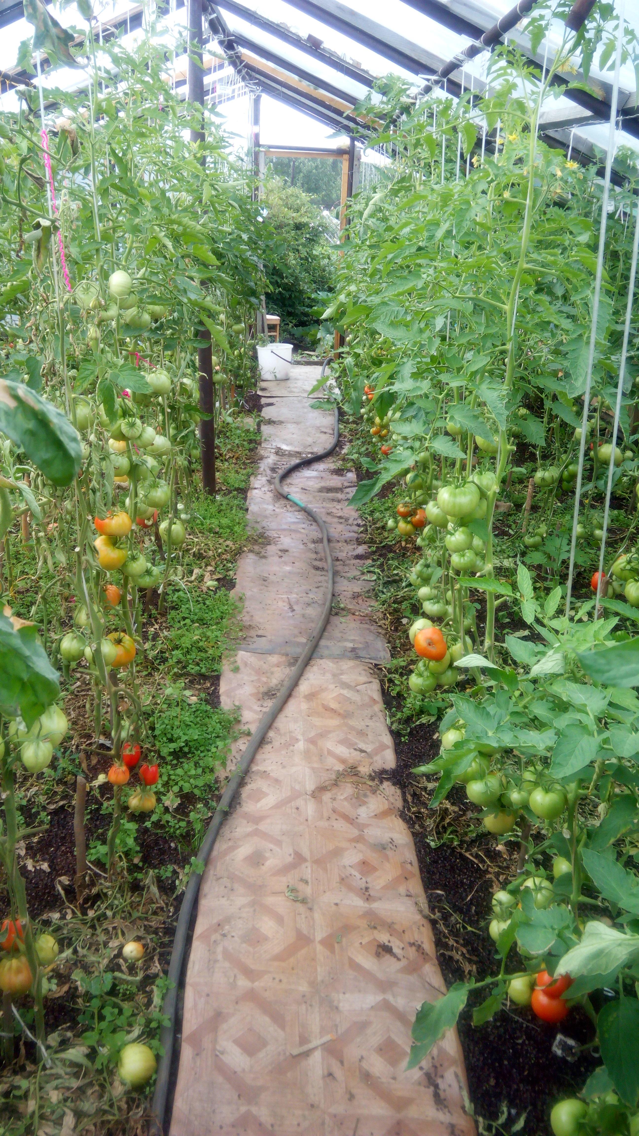 kurs-visokourozhaynoe-virashivanie-tomatov